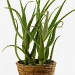 How to Plant Aloe Vera at Home