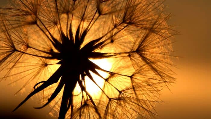Dandelion benefits in heartburn