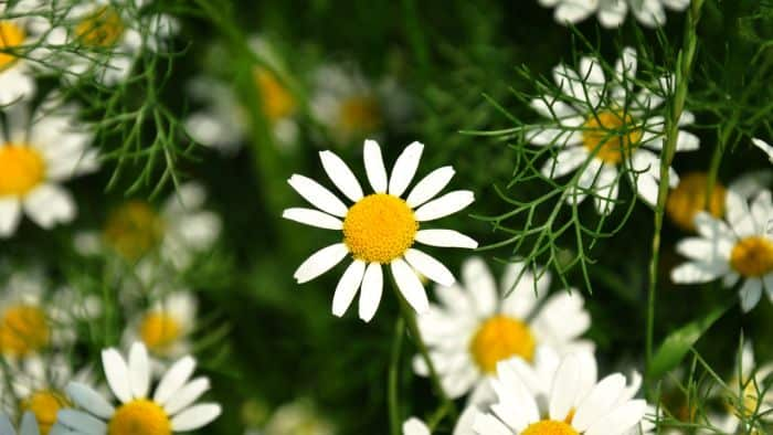 chamomile for heartburn